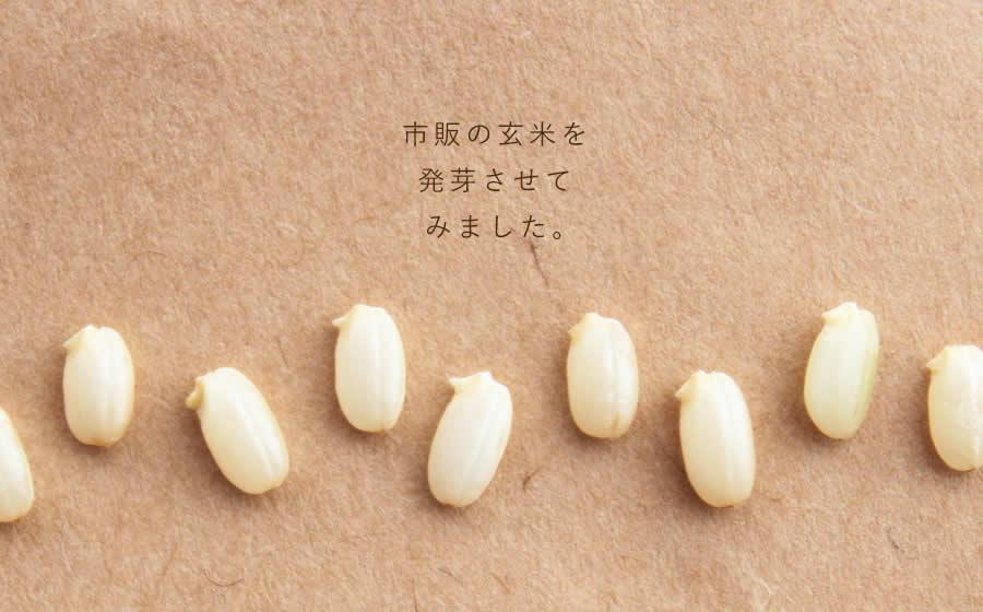 市販の玄米を発芽させてみました。